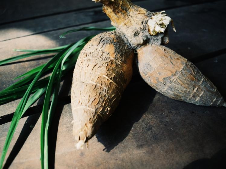 Fresh tapioca root.