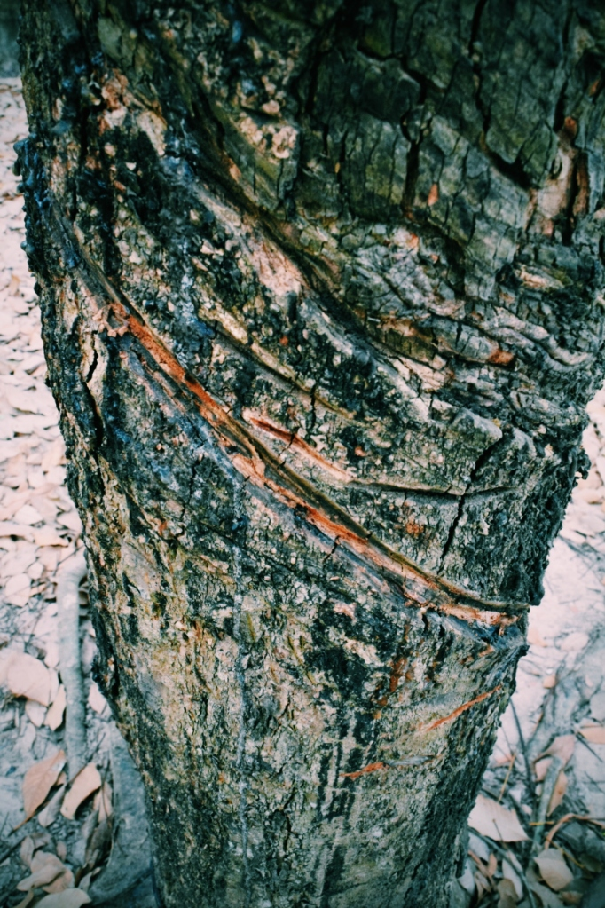 Cuts in tree bark to get at the sap.