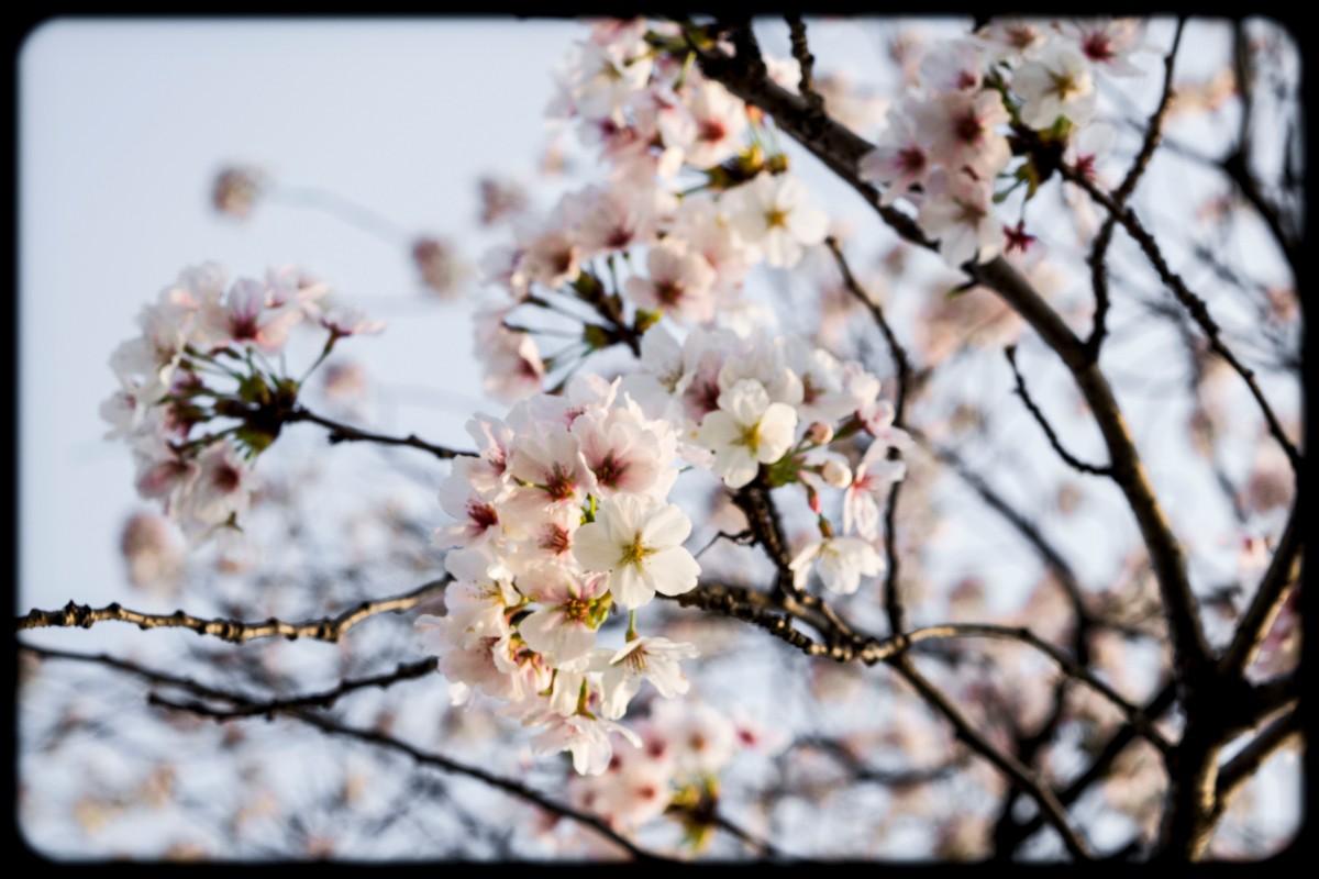 Spring Springs Cherry Blossom Season In Cheongju Down