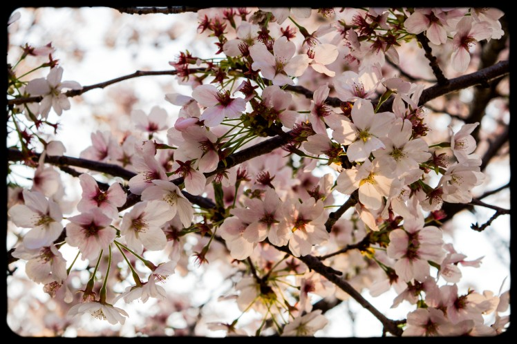 So many blossoms on every branch.