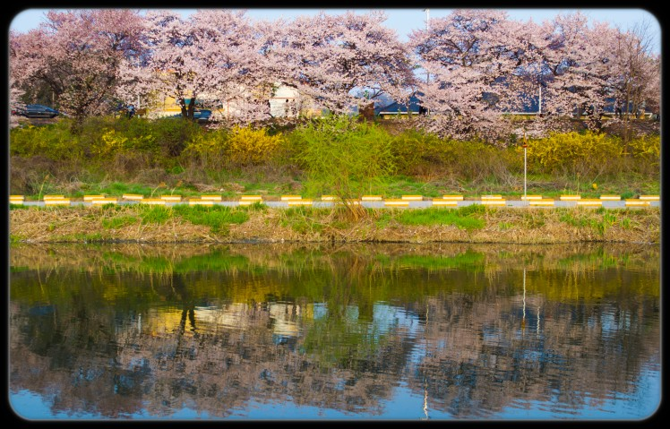 Cherry trees lining the river.