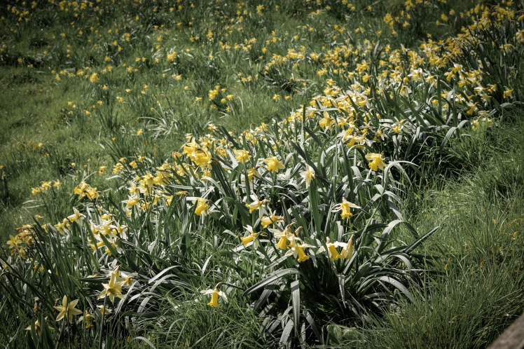 2016 Battle Abbey Daffodils small