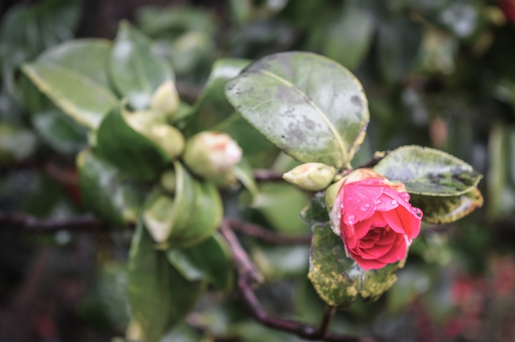 2016 Battle Abbey Red Camellia Half Opened Blossom small