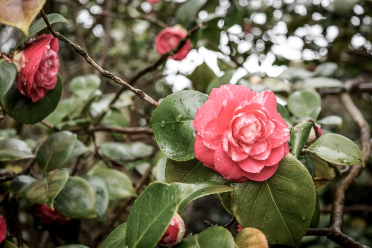 2016 Battle Abbey Red Camellia Knobbly Branch small