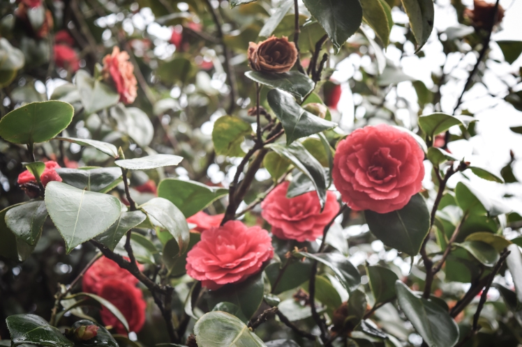 2016 Battle Abbey Red Camellia on Branch small