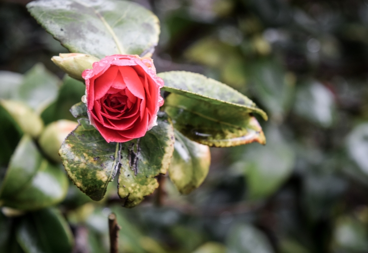 2016 Battle Abbey Red Camellia Single Bloom small