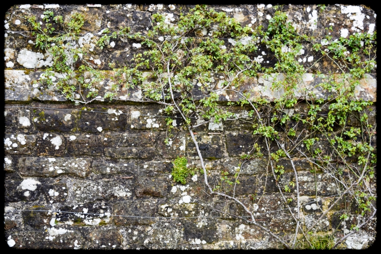 2016 Battle Abbey Wall With Climbing Ivy small