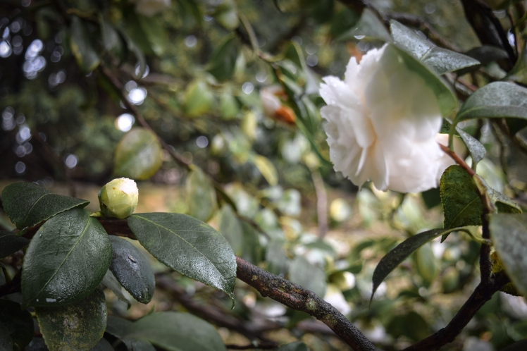 2016 Battle Abbey White Camellia and Bud small