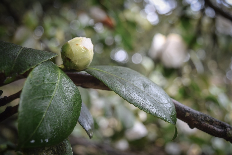 2016 Battle Abbey White Camellia Bud small