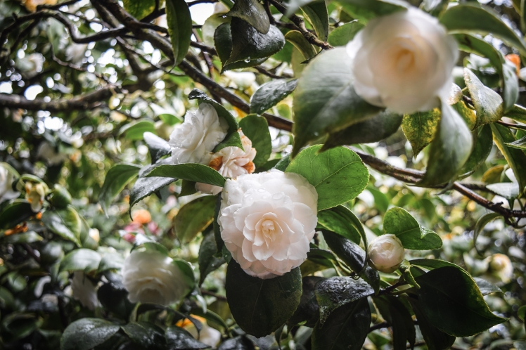 2016 Battle Abbey White Camellia Cluster small