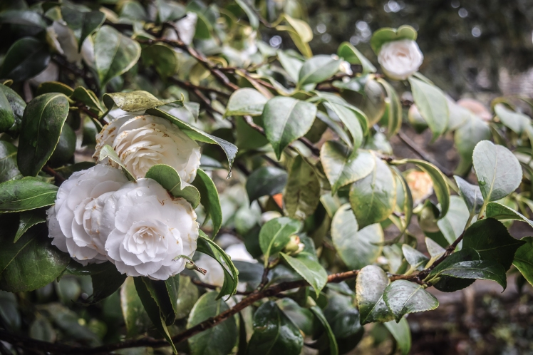 2016 Battle Abbey White Camellia on Branch small